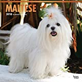 Maltese 2018 12 x 12 Inch Monthly Square Wall Calendar with Foil Stamped Cover, Animals Small Dog Breeds Pet (Multilingual Edition)